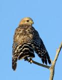 _JFF7966 Red Shoulder Hawk.jpg