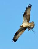 plymouth_long_beach_ospreys