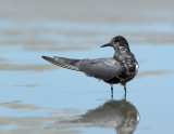 plymouth_long_beach_black_terns