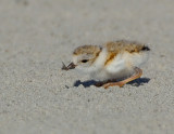 JFF7528 Piping Plover Chick with Prey