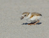 JFF7529 Piping Plover Chick With Prey Flip.jpg