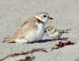 JFF7572 Piping Plover Parent With Chick.jpg