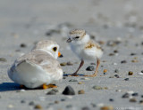 JFF8009 Piping Plover  Parent and Chick relaxing