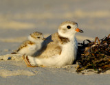 JFF8393 Piping Plover Parent and chick