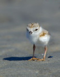 JFF8021. Piping Plover Chick
