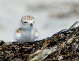 JFF8043. Piping Plover Chick