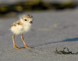 JFF8416. Piping Plover Chick