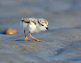 JFF8582. Piping Plover Chick