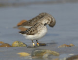 _JFF2972 Semipalmated Sandpiper With Leg Bands