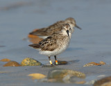 JFF2978 Semipalmated Sandpiper With Leg Bands