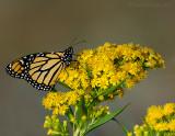 monarchs_on_goldenrod