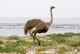Ostrich to Cormorants