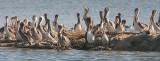 Brown Pelicans, all juveniles