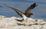 Brown Booby, m. (2 of 5)