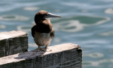 Brown Booby, imm. male (4 of 5)