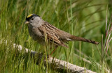 Golden-crowned Sparrow, alternate
