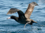 Short-tailed Albatross, immature