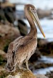 Brown Pelican, 1st cycle