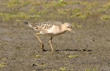 Buff-breasted Sandpiper, juv. (#1 of 4)