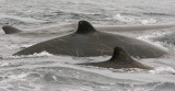 Baird's Beaked Whales (1 of 2)