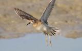 Sharp-tailed Sandpiper, juv. (#4 of 4)