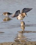 Sharp-tailed Sandpiper, juv., (#2 of 4)