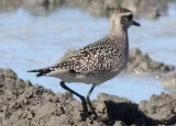 American Golden Plover, juv. (#3 of 3)
