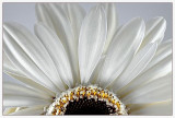 La fleur blanche (Challenge: Light on White)