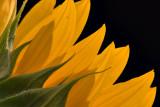 Sunflower (Best of 2006 Challenge)