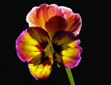Pansy (7th place, Macro Challenge)