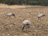Cranes feeding .jpg