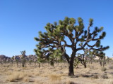 Joshua Tree, Yucca brevifolia