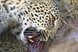 Young Leopard Eating - Hlaba Nkunzi - Not Suitable For Sqeamish