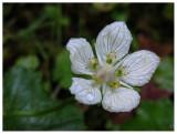 Parnassia palustris