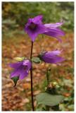 Campanula latifolia