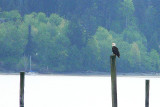 Dyes Inlet-Clear Creek eagle