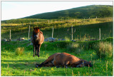 Horses resting, Runde