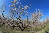 Plum Trees Are First To Bloom In Wenatchee Valley Orchards
