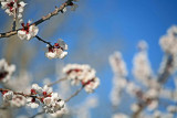 Plum Blossoms Are The First Of Fruit Crops To Bloom