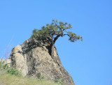 Tree Growing Out Of The Rock ( Peshastin Pinnicles)
