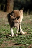 Kangaroo having an early morning scratch