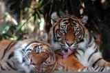 Tiger licking