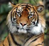 Sumatran Tiger 2