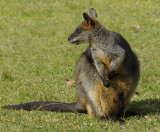 Swamp wallaby with joey in pouch