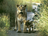 Asiatic lioness and cub at Gir National Park