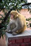 Simian resident of Rishikesh