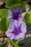 Beach flower along the Spit