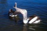 Noosa pelicans