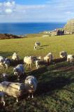 Sheep grazing on the Llyn Peninsula