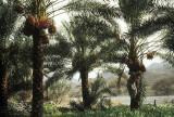 Date palms flourishing in an oasis